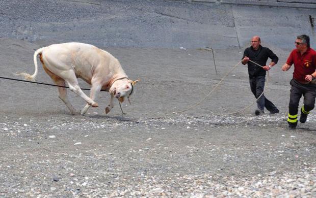 Teresa la vaca que no quería morir